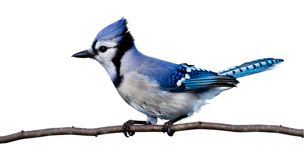 Blue Jay Animal Spirit